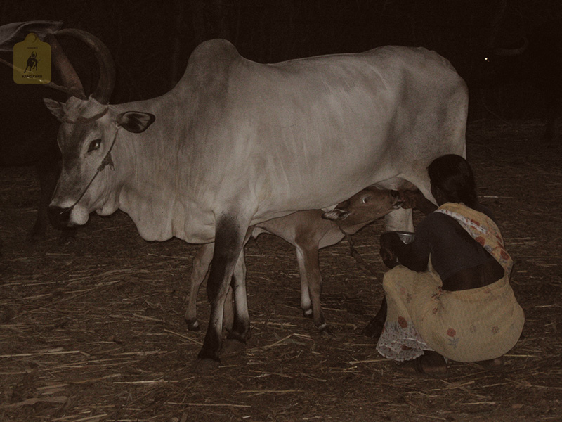 kangayam cattle