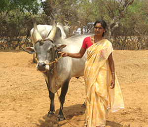 Senaapathy Kangayam Cattle